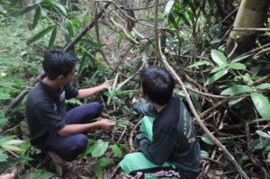 Anggota KTH Bukik Ijau memperhatikan pertumbuhan bibit jernang di Hutan Lindung Bukit Betabuh. (dina)