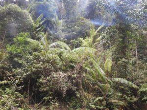 tanaman jernang di hutan